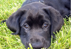 mine blacklab 300x208 Why the RSPCA Needs Your Help this Winter